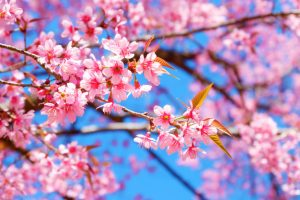 belle-fleur-cerisier-fleurs-sakura-rose-ciel-bleu-au-printemps_3057-148